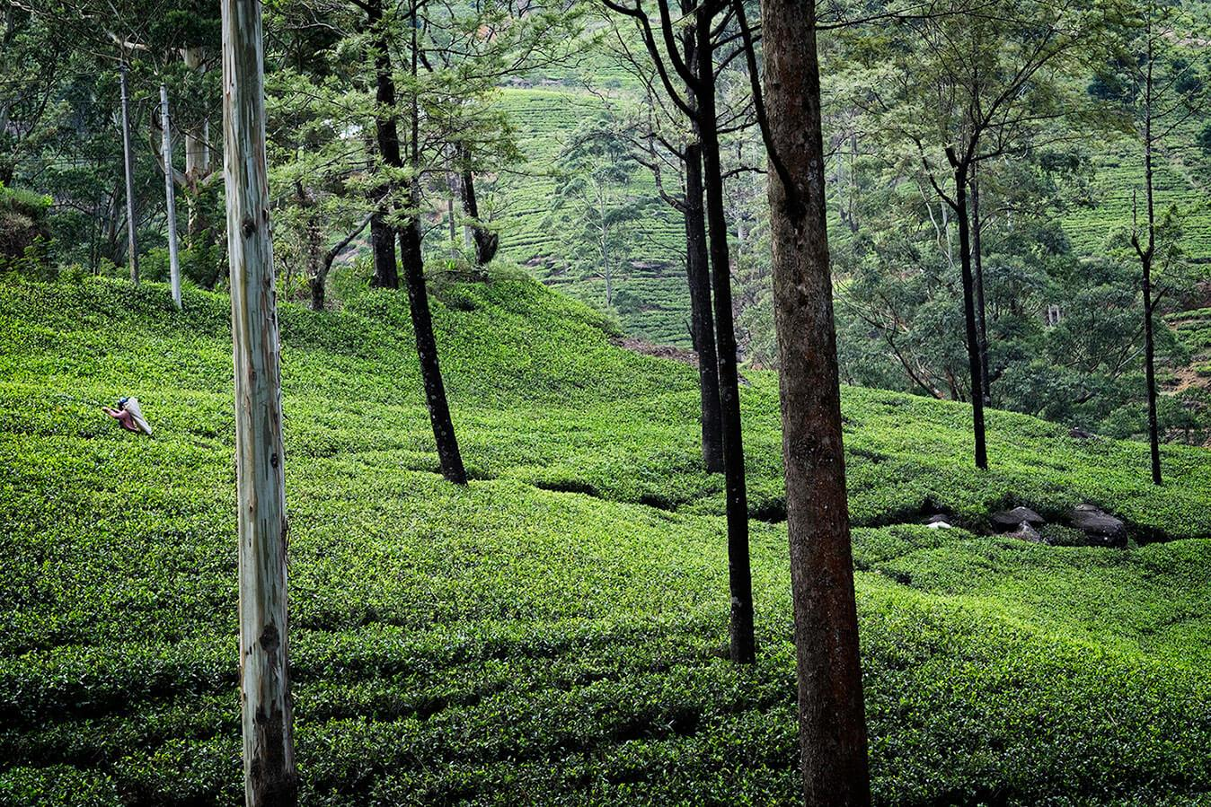 Tea Plantation Nuwara Eliya